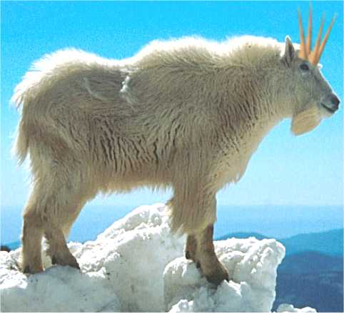 4_Horned_Mountain_Goat___2.jpg